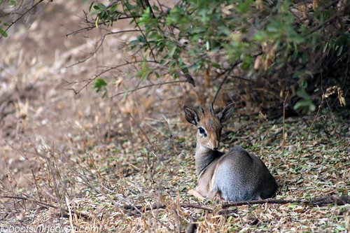 Dikdik, looking past us to the mate