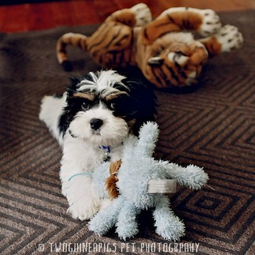 Bernard the cavamalt 3 month old puppy by twoguineapigs pet photography.