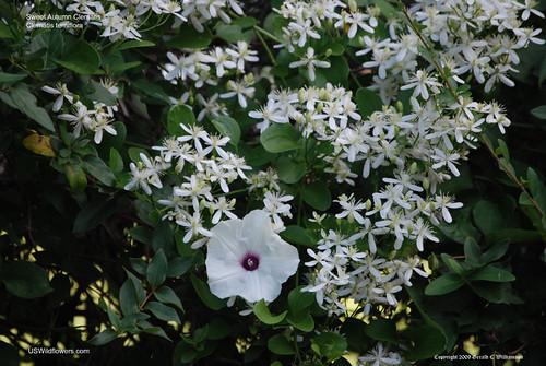Sweet Autumn Clematis - Clematis terniflora