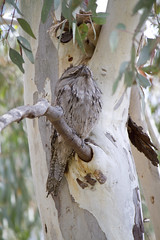 IMG_6819 (lizardstomp) Tags: owls australianbirds tawnyfrogmouths