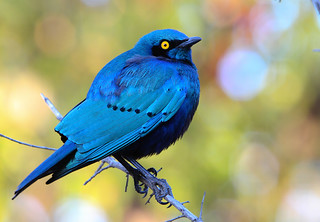 Estorninho-grande-d'orelha-azul / Greater blue-eared Starling