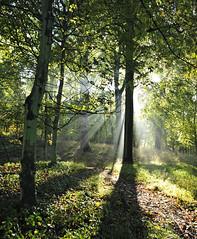 ASHRIDGE (n.j.coomber) Tags: forest forests sunbeams ashridge diamondclassphotographer flickrdiamond