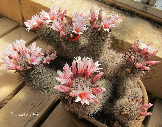 Mammillaria Fraileana from Mexico