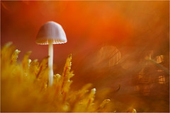 [ autumn light and the little mushroom ] (panfot_O (Bernd Walz)) Tags: light red macro reflection mushroom moss fungus makro macrophotography autumnlight