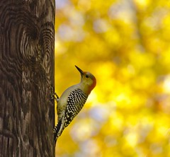 Autumn Woody (alextbaum) Tags: autumn bird colors leaves woodpecker dof bokeh redbelliedwoodpecker pinnacle tcf thechallengefactory thepinnaclehof tphofweek122 pinnacle103111