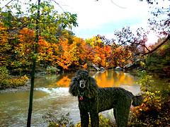 Cascade Park in the Fall (ebonique/ANJELIQUE) Tags: dog black blackdog poodle pictureperfect standardpoodle blueribbonwinner supershot ebbie blackstandardpoodle impressedbeauty flickrdiamond citrit lizasgarden adorablecritters damniwishidtakenthat animalsartgallery blinkagain bestofblinkwinners
