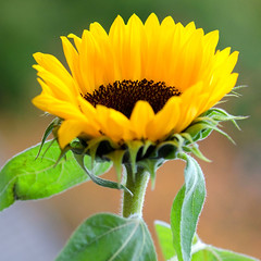 Catching the last rays (Patsy L Smiles) Tags: flower yellow gold golden sunflower nikkor105mmf28gvrmicro elementsorganizer patsysmiles