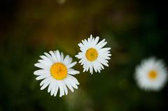 The Grass is Full of Stars (Benjamin Postlewait) Tags: flowers oregon daisies meadow daisy wildflowers scottsmills