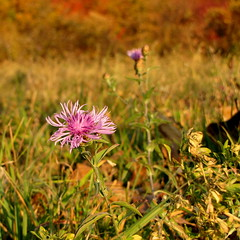 kitart / persevering (debreczeniemoke) Tags: autumn wild plant flower fall colorful meadow asteraceae virg medicinalplant brownknapweed centaureajacea nvny wiesenflockenblume sz rt persevering sznes gygynvny rtiimola centaurejace gewhnlicheflockenblume canonpowershotsx20is brownrayknapweed vadonterm fszkesek kitart