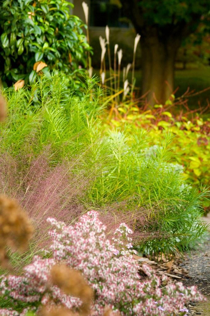 muhlenbergia capillaris  891