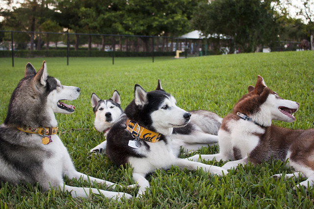 Florida Huskies and the NEW addition 9/5/13 - Page 5 6326215224_270b4eb912_z