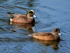 Cute Couple (McDuck17) Tags: park reflection nature water birds feathers nj ducks bayonne americanwigeon autofocus winterbirds baldpate bayonnepark