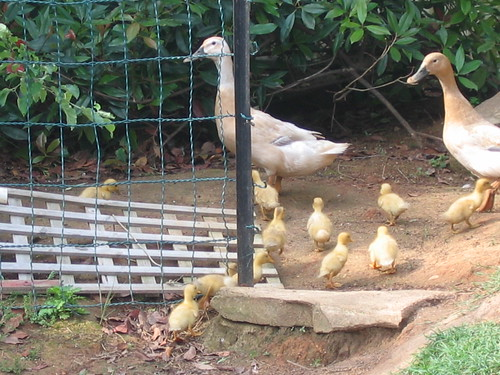 Ducklings 1 week old 2011