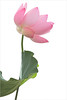 EXPLORED!    Pink Lotus Flower and Leaf - IMG_5055 (Bahman Farzad) Tags: pink flower macro yoga petals peace lotus relaxing peaceful meditation therapy lotusflower lotuspetal lotuspetals lotusflowerpetals lotusflowerpetal