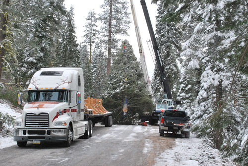 The 65-foot white fir that will be this year's Capitol Christmas Tree is loaded onto its flatbed truck by two cranes after being harvested Nov. 5. Prior to its harvesting on the Stanislaus National Forest in California, an elder from the Tuolumne Band of Me-wuk Indians blessed the majestic tree and its journey in a private ceremony. (U.S. Forest Service photo)
