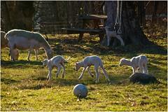 Récréation à la bergerie