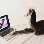 Alpaca Baby Using MacBook Pro thumbnail