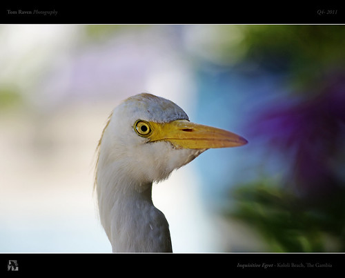 Inquisitive Egret by TomRaven