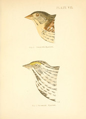 n76_w1150 (BioDivLibrary) Tags: birds finches newengland sparrows sil smithsonianinstitutionlibraries bhl:page=13999460 dc:identifier=httpbiodiversitylibraryorgpage13999460 taxonomy:binomial=ammodramushenslowii taxonomy:binomial=passerculussandwichensis