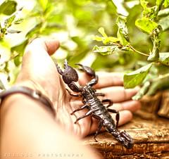 Langawi's Scorpion .. (ZiZLoSs) Tags: canon eos hand f14 scorpion 7d kuwait usm aziz ef50mmf14usm abdulaziz عبدالعزيز ef50mm zizloss المنيع عقرب 3aziz almanie abdulazizalmanie