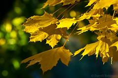 Autumn Leaves (sierrasylvan) Tags: california tree yellow canon maple nevadacity canoneosdigitalrebelxt sugarmaple nevadacounty fantasticnature canonef70300mmf456isusmlens mygearandme blinkagain flickrstruereflection1