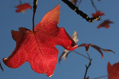 Fall (Danielle Dupree) Tags: park blue autumn trees light shadow red sky usa sun color tree fall nature leaves digital forest canon lens landscape eos leaf texas shadows outdoor earth canon20d kitlens foliage drought redmaple easttexas