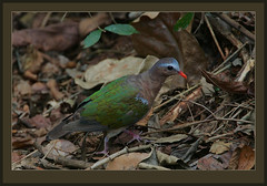 Common Emerald Dove (Chalcophaps indica) (Rainbirder) Tags: srilanka chalcophapsindica commonemeralddove rainbirder