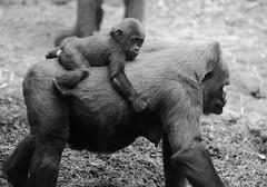 Gorilla Baby Riding Mom (Eric Kilby) Tags: park baby mom zoo franklin gorilla riding western lowland