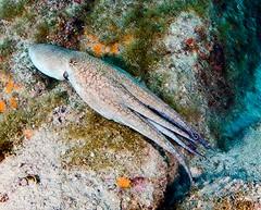 octo8238ws (gerb) Tags: topv111 topv333 underwater scuba octopus wildanimal tentacle animalplanet seaofcortez octo cephalopod tvp aquatica d7000 sigma1017fe