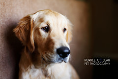 Gru (anthonyhelton.com) Tags: dogs golden retriever mansbestfriend canon50mmf14 5dii