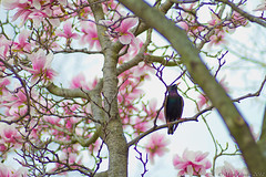 Untitled (Mick Canon) Tags: spring blossom bloom blackbird flourish thrive