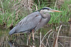 Heron crouch (Peaceful Nature) Tags: heron highqualityanimals