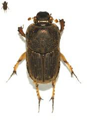 Sca Sca: Euoniticellus intermedius f Reiche, 1849, female (margarethe brummermann) Tags: arizona wb coleoptera scarabaeoidea