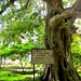 Tree at Killing Fields 02
