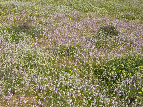 Desert_Wildlfowers_S_of_Urim_IL_2007_02_17_007.jpg