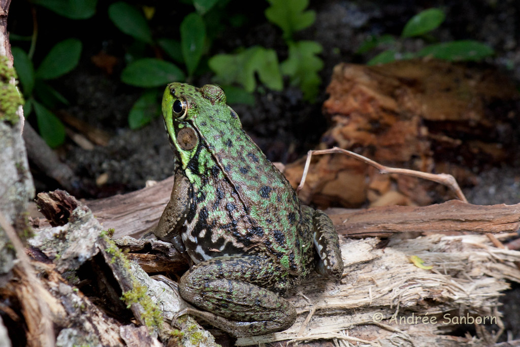 Green Frog (Lithobates clamitans)-19.jpg