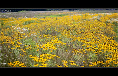 Field of Yellow (GWD Photography) Tags: flowers wild nature field yellow daisies canon landscape outdoors eos is zoom pennsylvania farm telephoto daisy lancaster l 5d markii 100400 gwdphotography