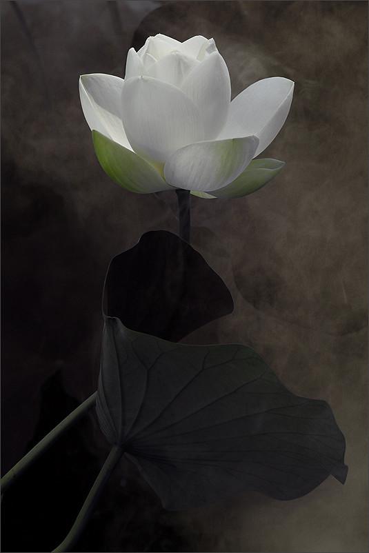 Волшебный лотос фотографа Bahman Farzad