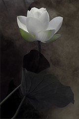 White Lotus Flower and the Leaf - IMG_9606-1-800 (Bahman Farzad) Tags: white flower macro yoga leaf peace lotus relaxing peaceful meditation therapy lotusflower lotuspetal lotuspetals lotusflowerpetals lotusflowerpetal