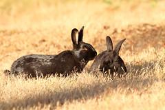Beach Bunnies (Peggy Collins) Tags: two canada bunny bunnies gold golden morninglight couple britishcolumbia pair vancouverisland pacificnorthwest rabbits comox twosome beachbunnies kinbeach domesticrabbits peggycollins