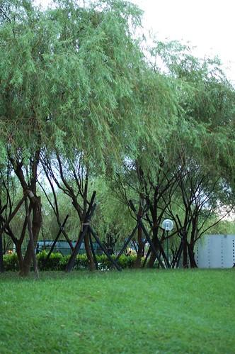 綠絲絛的柳樹