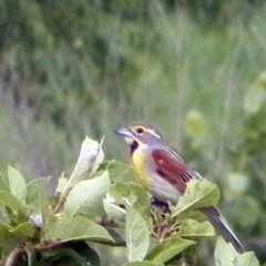 Dickcissel near Denton, Nebraska