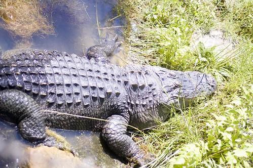 an alligator sunbathing
