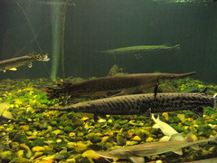 swimming gar