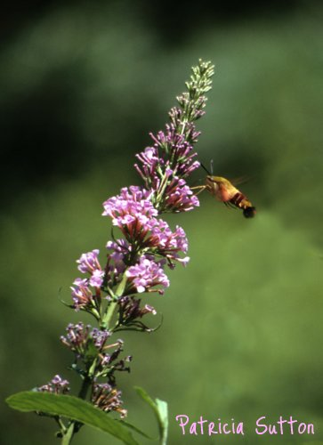 07B-HummingbirdClearwing-ButterflyBush-Aug1991-w-signature