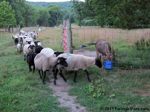 Sheep stampede for treats - FarmgirlFare.com