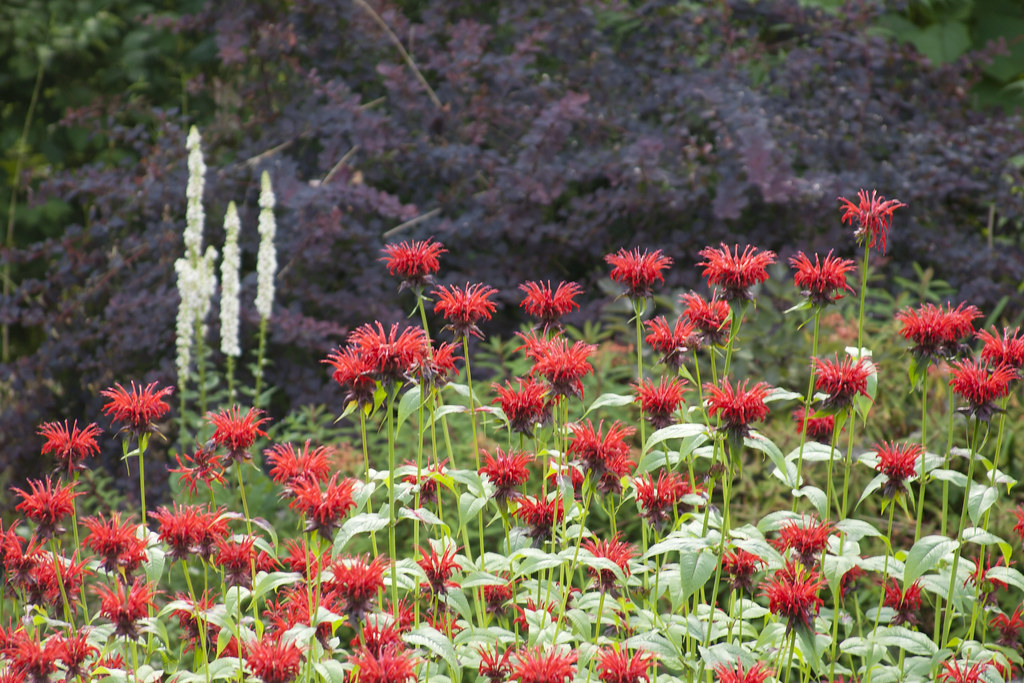Monarda jacob cline and barberry