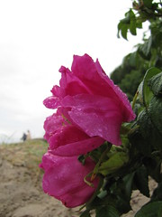 Pink Hibiscus on the beach (Mirphee) Tags: flowers plants nature denmark floraandforna rhusaarhus