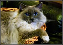Ollie (wrexue) Tags: blue cat lens fur eyes feline mf pentacon manualfocus ragdoll 30mm