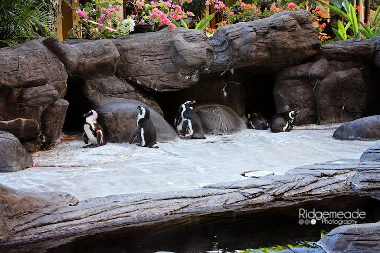Penguins at the Hilton Hawaiian Village